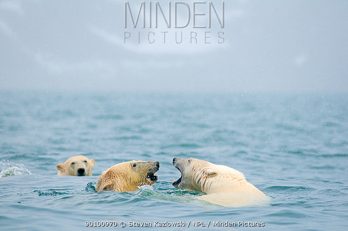 Polar bears (Ursus maritimus) playing in the sea, along the coast of Svalbard, Norway  -  Steven Kazlowski/ npl