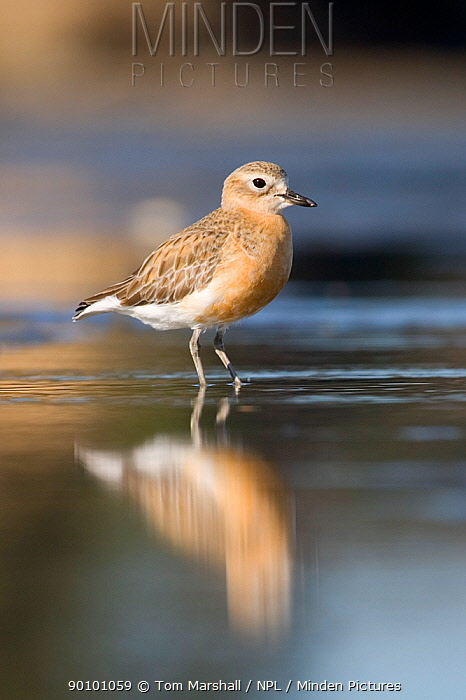New Zealand dotterel (Charadrius, Pulvalis obscurus) in shallow water, Auckland, North Island, New Zealand, Endandered species  -  Tom Marshall/ npl
