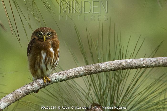 Ferruginous pygmy owl (Glaucidium brasilianum) perched on branch, Trinidad, April  -  Robin Chittenden/ npl