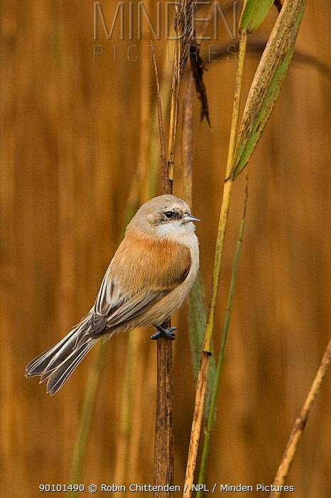 Penduline tit (Remiz pendulinus) on reeds, Dingle Marshes, Suffolk, England, November  -  Robin Chittenden/ npl