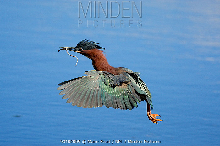 Green Heron (Butorides virescens) in flight over water, carrying nest material, Orlando, Florida, USA  -  Marie Read/ npl