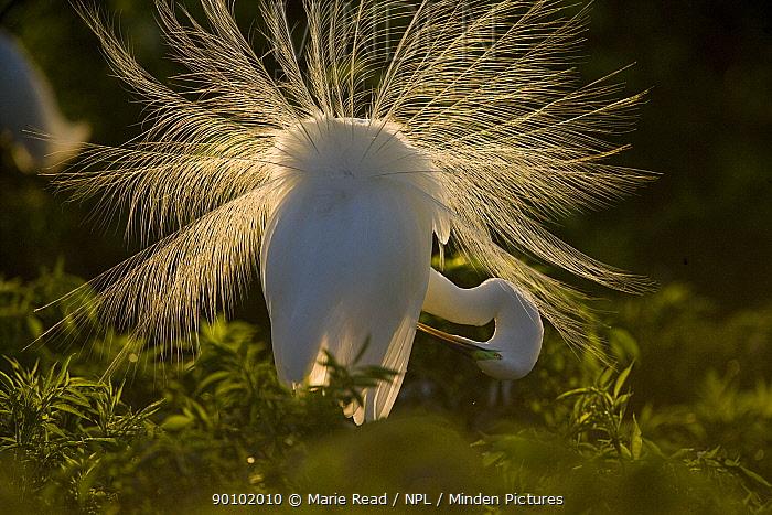 Great Egret (Casmerodias, Ardea alba) courtship display, backlit, Orlando, Florida, USA  -  Marie Read/ npl