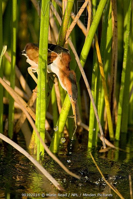 Least Bittern (Ixobrychus exilis) male catching fish, Viera, Florida, USA  -  Marie Read/ npl