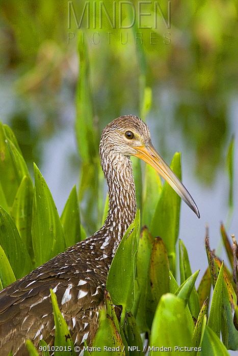 Limpkin (Aramus guarauna) in wetland vegetation, Florida, USA  -  Marie Read/ npl