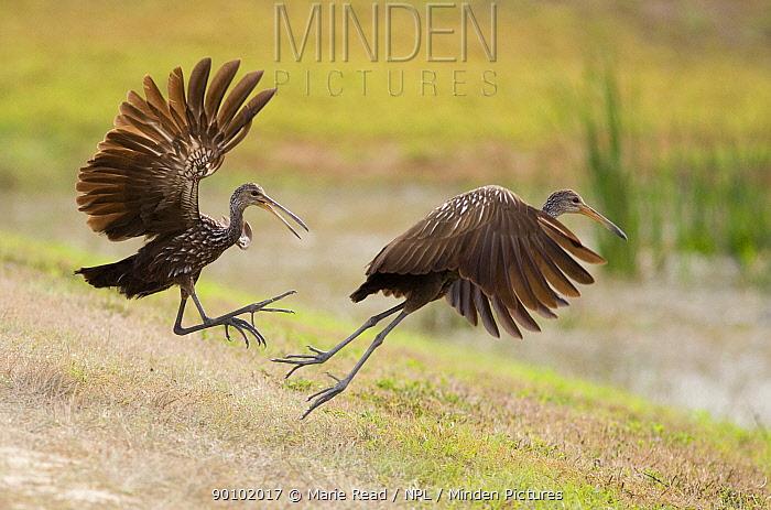 Limpkins (Aramus guarauna) two fighting during a territorial dispute, Viera, Florida, USA  -  Marie Read/ npl