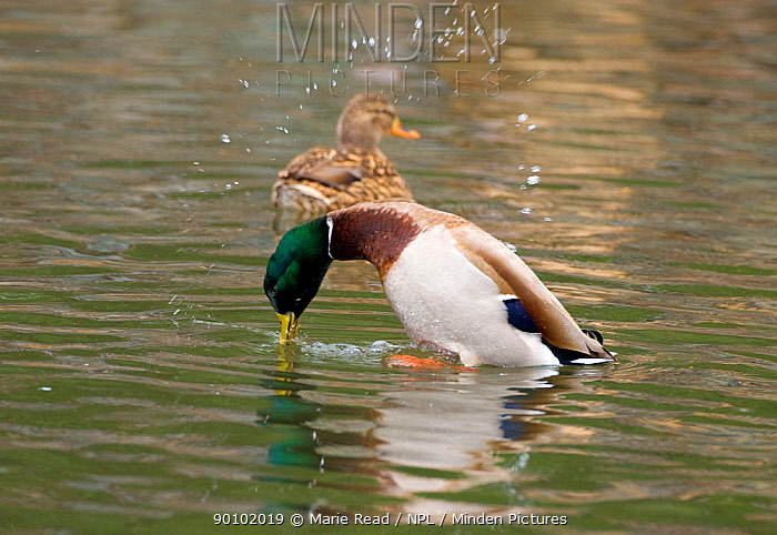 Mallard (Anas platyrhynchos) male performing Grunt-Whistle courtship display, in which he tosses an arc of water droplets into the air while giving a grunting call followed by a sharp whistle, note the female in background, Orange County, California, USA  -  Marie Read/ npl