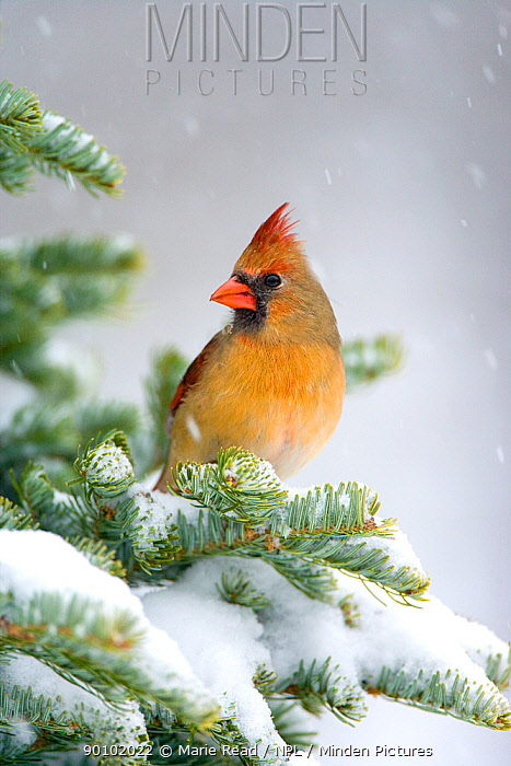 Northern Cardinal (Cardinalis cardinalis) female perched on snow-covered conifer, New York, USA  -  Marie Read/ npl
