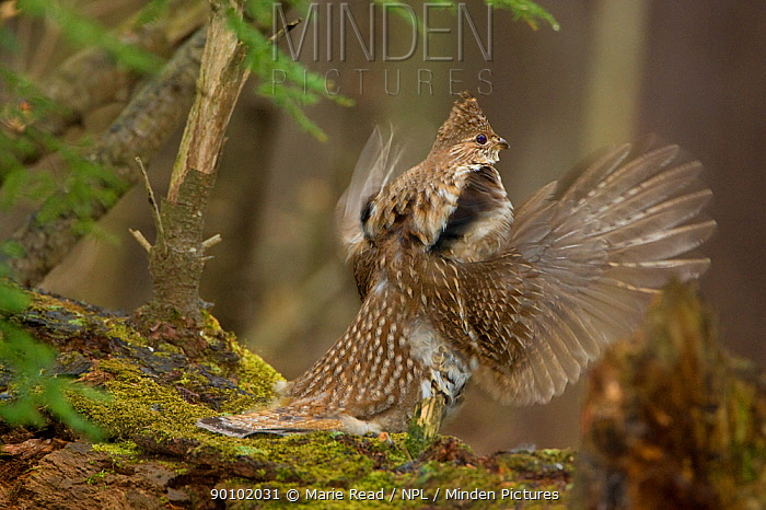 Ruffed Grouse (Bonasa umbellus) male drumming on moss-covered log in early spring, New York, USA  -  Marie Read/ npl