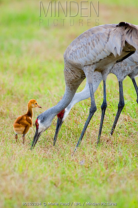 Sandhill Crane (Grus canadensis), Florida race, two adults feeding with chick looking on, Orlando, Florida, USA  -  Marie Read/ npl