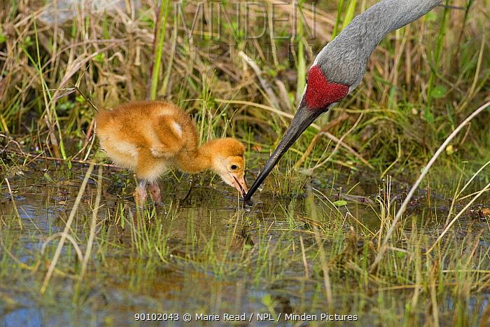 Sandhill Crane (Grus canadensis), Florida race, adult feeding chick, Orlando, Florida, USA  -  Marie Read/ npl