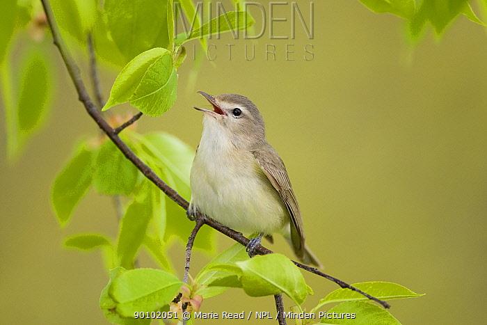 Warbling Vireo (Vireo gilvus), singing in spring, New York, USA  -  Marie Read/ npl