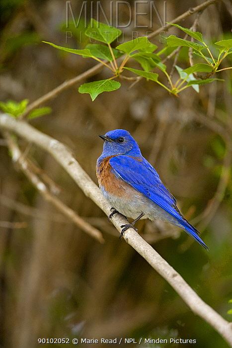 Western Bluebird (Sialia mexicana) male perched, Orange County, California, USA  -  Marie Read/ npl