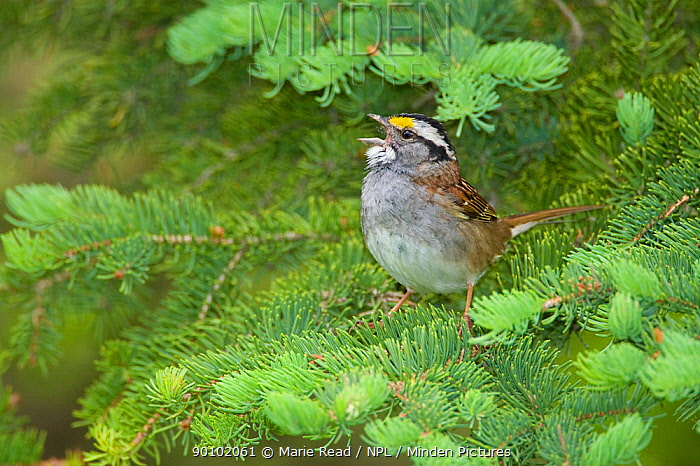 White-throated Sparrow (Zonotrichia albicollis) male singing from conifer branch, Cortland County, New York, USA  -  Marie Read/ npl