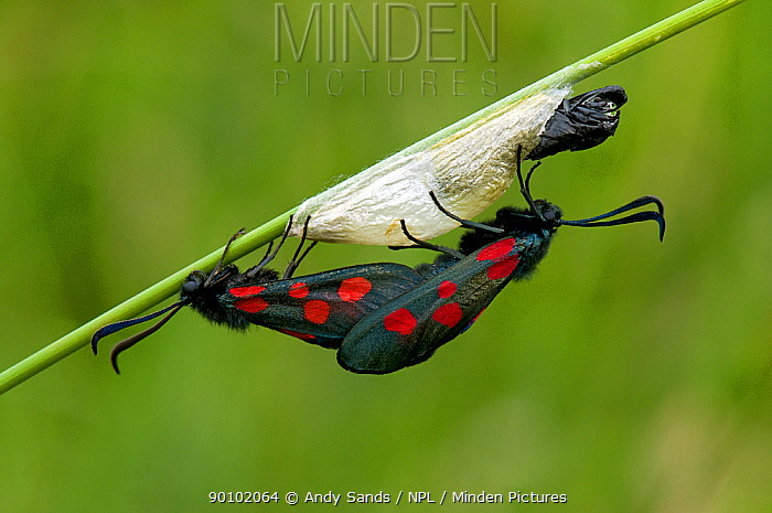Five-spot Burnet Moth (Zygaena trifolii) Male mating with newly emerged female, Bedfordshire, England, UK  -  Andy Sands/ npl