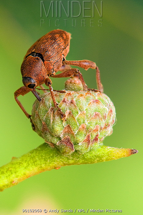 Acorn weevil (Curculio glandium) Drilling hole in developing acorn in which to lay egg, UK, Captive, sequence 2, 4  -  Andy Sands/ npl