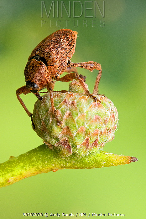 Acorn weevil (Curculio glandium) drilling hole in developing acorn in which to lay egg, UK, Captive, sequence 3, 4  -  Andy Sands/ npl