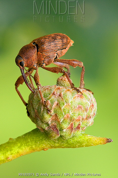 Acorn weevil (Curculio glandium) Drilling hole in developing acorn in which to lay egg, UK, Captive, sequence 4, 4  -  Andy Sands/ npl