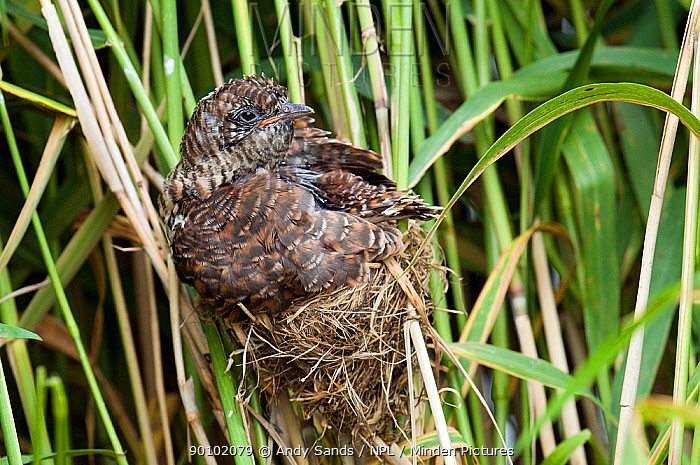 European Cuckoo chick (Cuculus canorus) on nest of Reed Warbler, West Sussex, England, UK  -  Andy Sands/ npl