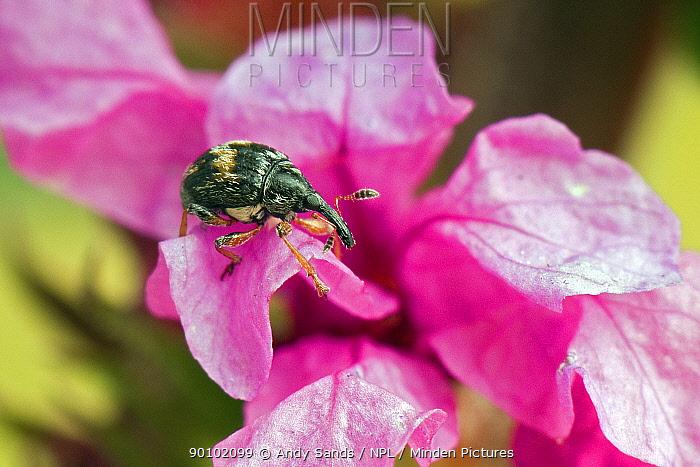 Loosetrife Weevil (Nanophyes marmoratus Goeze) on petal of Purple Loosetrife flower, UK, Captive  -  Andy Sands/ npl
