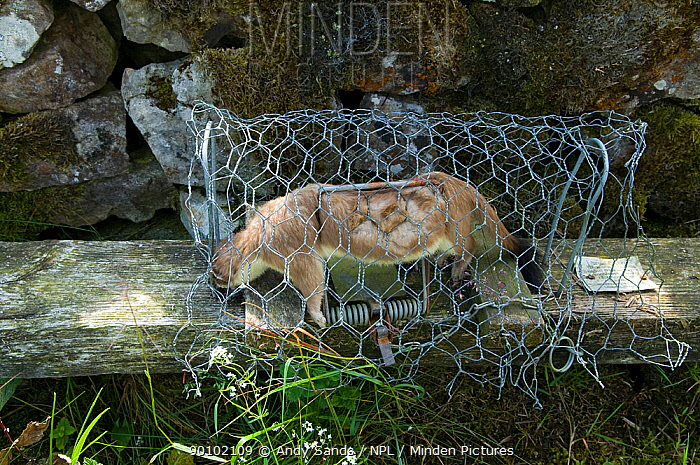 Dead Stoat (Mustela erminea) in rail trap alongside drystone wall, trapping predators of ground nesting birds, Upper Teesdale, Co Durham, England, UK, April 2008  -  Andy Sands/ npl