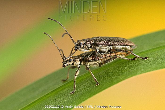 Reed Beetle (Donacia aquatica) Pair mating on Reed, UK, Captive  -  Andy Sands/ npl