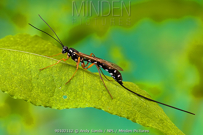 Ichneumon wasp (Rhyssa persuasoria) one of the largest British wasps, at rest on Dock leaf, UK, Captive  -  Andy Sands/ npl
