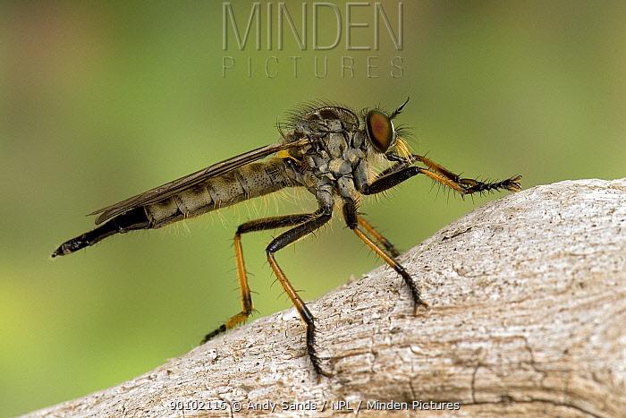 Robber fly (Neoitamus cyanurus) resting on dead wood, Hertfordshire, England, UK  -  Andy Sands/ npl