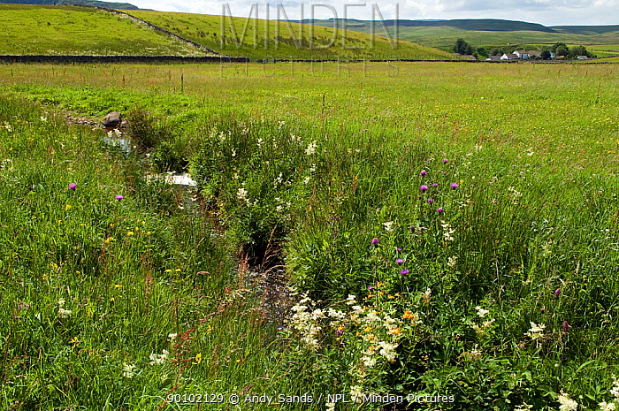 Wildflower meadow, typical Upper Teesdale meadow with Melancholy thistle, meadow sweet and many more flowers with upland farm beyond, County Durham, UK, April 2008  -  Andy Sands/ npl