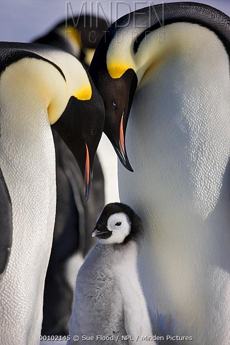 Emperor penguin (Aptenodytes forseteri) with young chick, Snow Hill Island rookery, Antarctica, October  -  Sue Flood/ npl