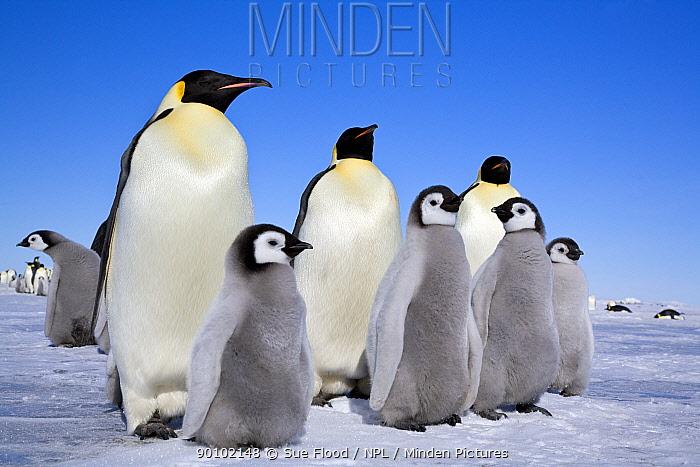 Emperor penguin (Aptenodytes forsteri) adults and chicks, Snow Hill Island rookery, Antarctica, November  -  Sue Flood/ npl