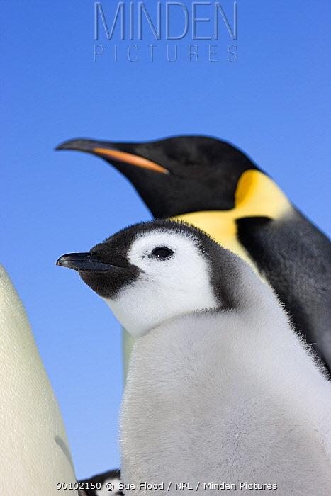 Emperor penguin (Aptenodytes forsteri) adult with chick, Snow Hill Island rookery, Antarctica, November  -  Sue Flood/ npl