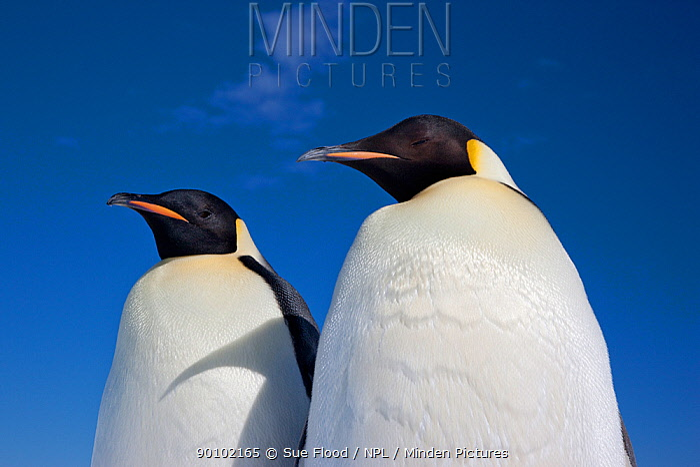 Two Emperor penguins (Aptenodytes forsteri) Cape Washington colony, Ross Sea, Antarctica, December  -  Sue Flood/ npl