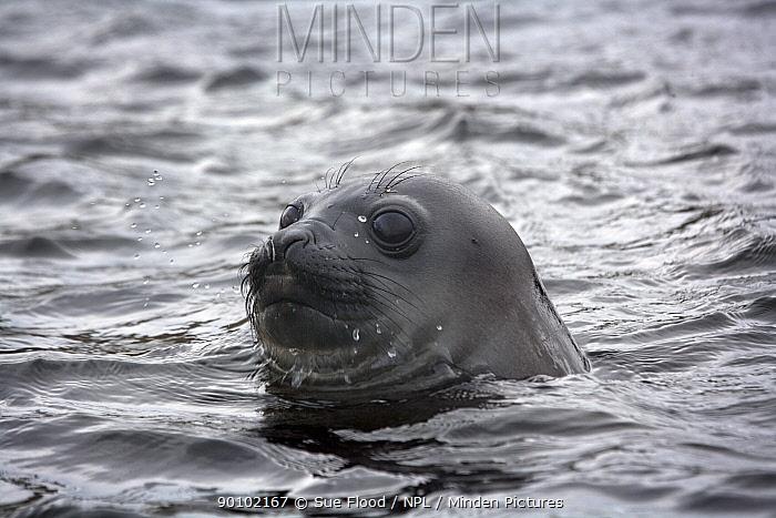 Southern elephant seal (Mirounga leonina) pup with head above water, Campbell Island, New Zealand, sub Antarctic Islands, December  -  Sue Flood/ npl