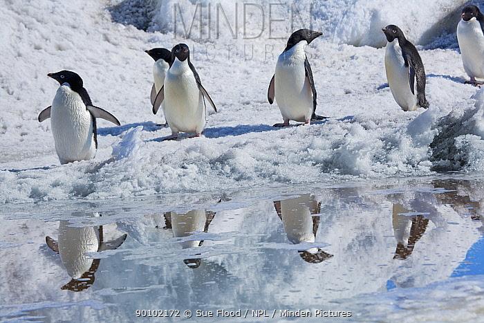 Adelie penguins (Pygoscelis adeliae) Cape Adare, Antarctica, December  -  Sue Flood/ npl