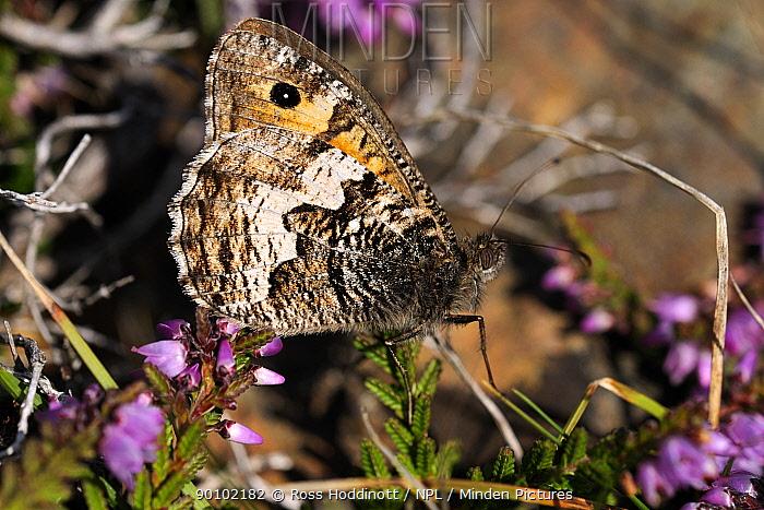 Grayling butterfly (Hipparchia semele) on heather The Lizard, Cornwall, UK, August  -  Ross Hoddinott/ npl