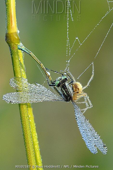 Spider with Common blue tailed damselfly (Enallagma cyathigerum) caught in web, Tamar Lake, Devon, UK  -  Ross Hoddinott/ npl