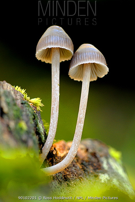 Fungi (possibly Mycena inclinata), Shaugh Bridge, Dartmoor, Devon, UK  -  Ross Hoddinott/ npl