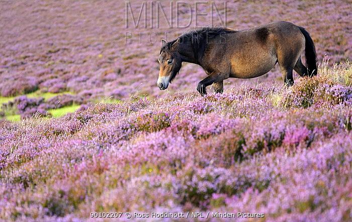 Exmoor pony (Equus caballus) walking amongst flowering heather (Ericaceae), near Porlock Hill, Exmoor National Park, Somerset, UK August  -  Ross Hoddinott/ npl