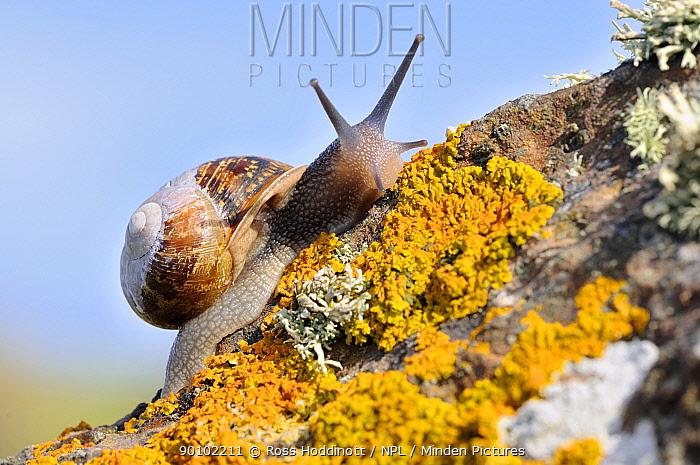 Common snail (Helix aspersa), on lichen covered rock, The Lizard, Cornwall, UK August  -  Ross Hoddinott/ npl