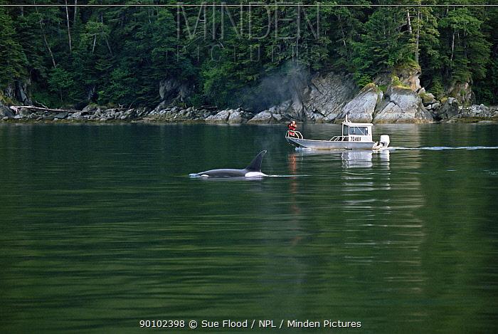 Cameraman Doug Allan, filming Killer whale (Orcinus orca) surfacing, from boat, for BBC, Alaska, USA  -  Sue Flood/ npl