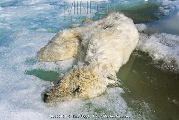 Dead Polar bear (Ursus maritimus) which has starved to death, Lancaster Sound, Nunavut, Canadian high Arctic  -  Sue Flood/ npl