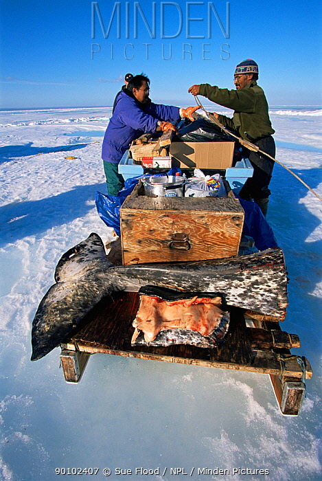 Inuit man and woman loading butchered Narwhal onto komatik, Inuit sledge to transport back to Arctic Bay, Nunavut, Canada  -  Sue Flood/ npl