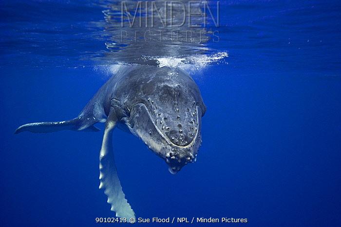Humpback whale (Megaptera novaeangliae) calf just below the surface, Vava'u, Kingdom of Tonga, South Pacific, August  -  Sue Flood/ npl