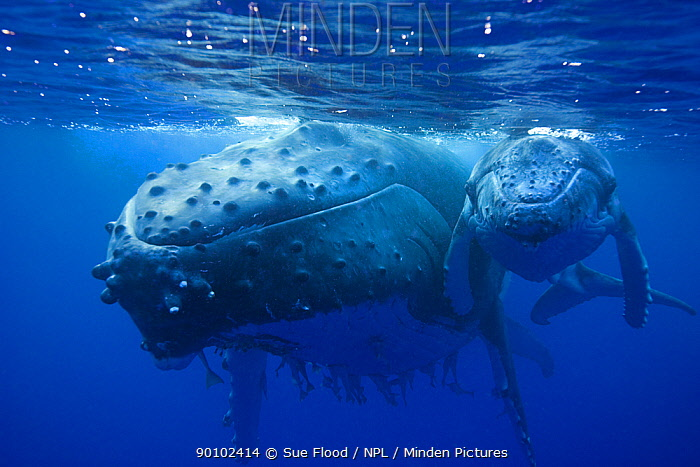 Humpback whale (Megaptera novaeangliae) mother and calf, Kingdom of Tonga, South Pacific, September  -  Sue Flood/ npl