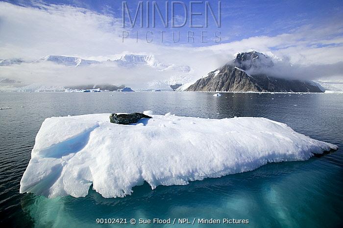 Weddell seal (Leptonychotes weddellii) lying on ice floe, Antarctic peninsula, February  -  Sue Flood/ npl