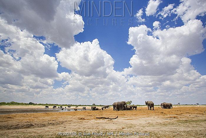 African elephants (Loxodonta africana) near water during dry season, Hwange National Park, Zimbabwe, October 2007  -  Sue Flood/ npl