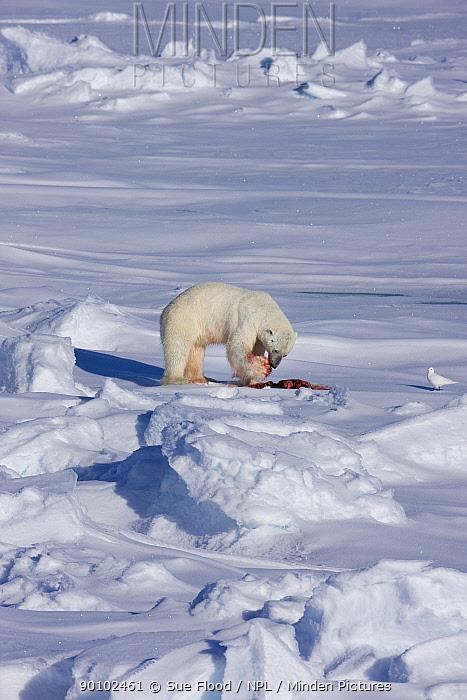 Polar bear (Ursus maritimus) feeding on Ringed seal (Phoca hispida) Russian Arctic, July 2008  -  Sue Flood/ npl