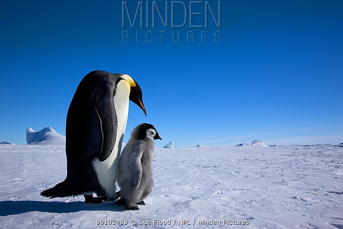Emperor penguin (Aptenodytes forsteri) with chick, Snow Hill Island rookery, Antarctica, October  -  Sue Flood/ npl