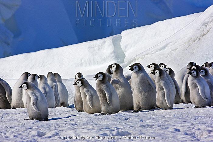 Emperor penguin (Aptenodytes forsteri) chicks, Snow Hill Island rookery, Antarctica, November  -  Sue Flood/ npl
