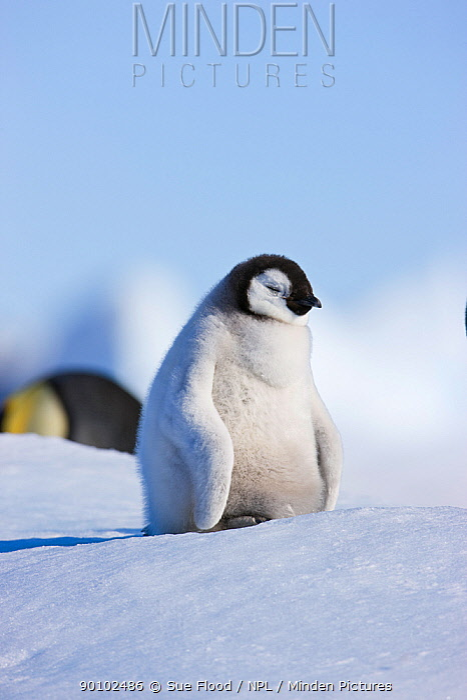 Emperor penguin (Aptenodytes forsteri) chick sleeping, Snow Hill Island rookery, Antarctica, November  -  Sue Flood/ npl